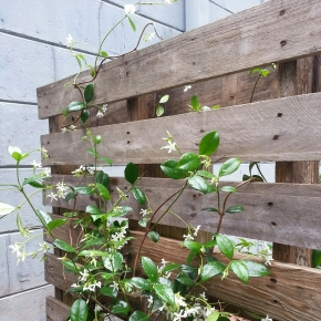 Pallet Privacy Fence with Confederate Jasmine